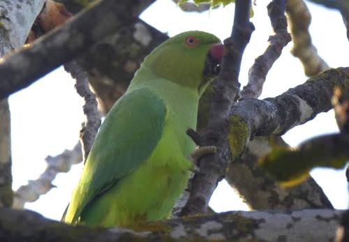 wemyss parrot