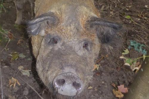 wemyss pigs