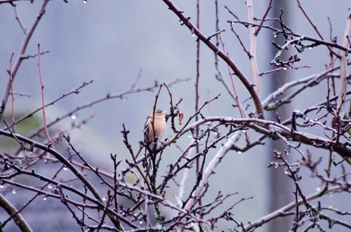 wet saturday chaffinch