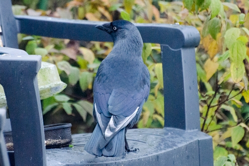 white feathers jackdaw
