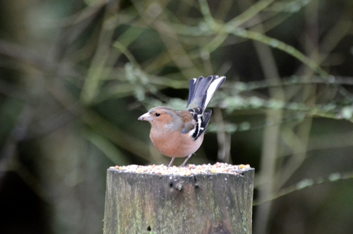 Laverock hide chaffinch