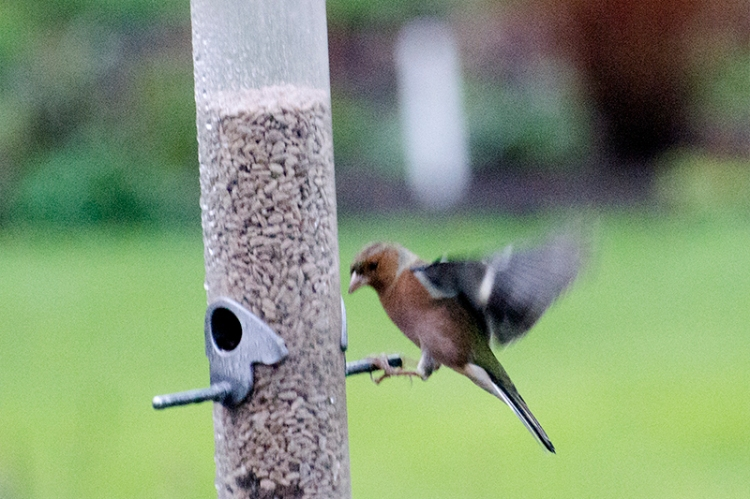 almost flying chaffinch