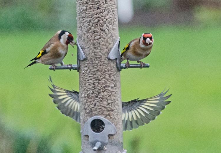 angel goldfinch