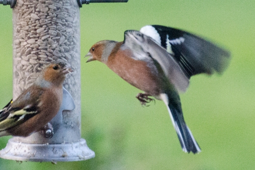 angry flying chaffinch