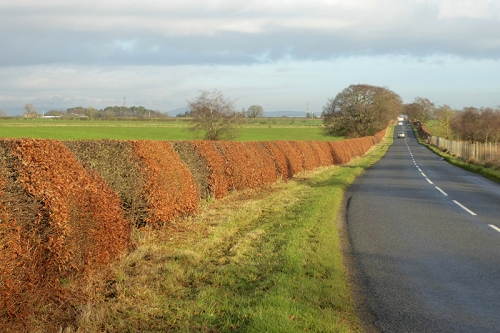 beech hedge KPF road
