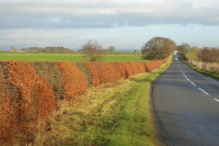 beech hedge KPF road
