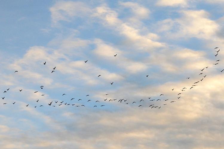 birds in fligth