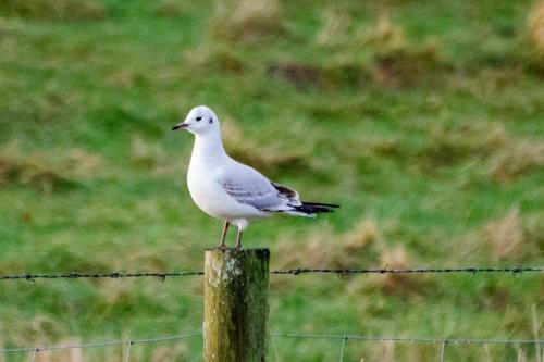 black headed gull on post