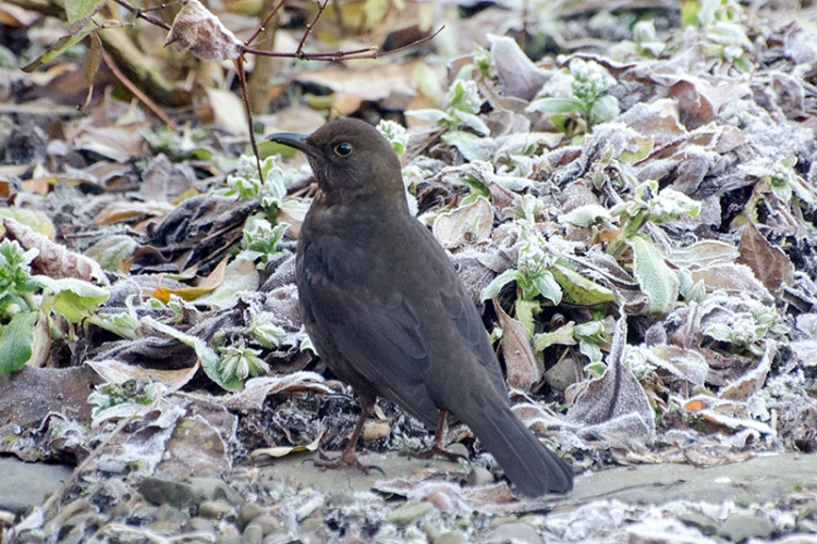 blackbird below feeder