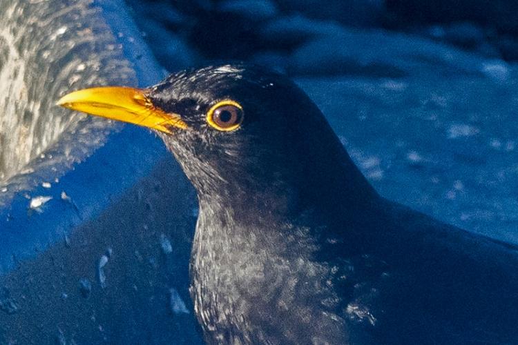blackbird head