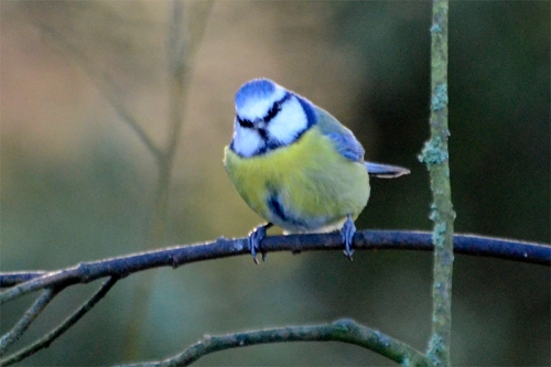 blue tit at laverock