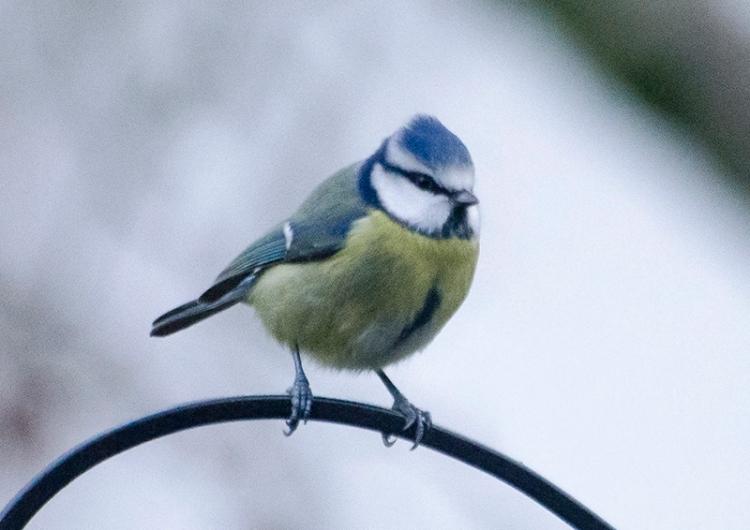 blue tit on feeder pole