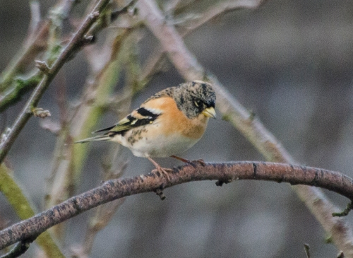 brambling in Plum tree december