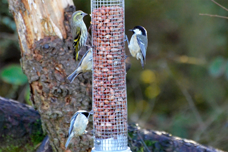 busy feeder at laverock