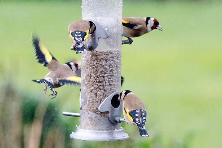 busy goldfinches at feeder