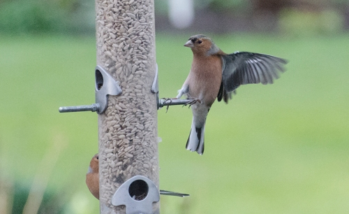 chaffinch dropping in