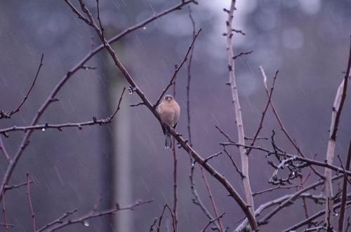 chaffinch in December rain