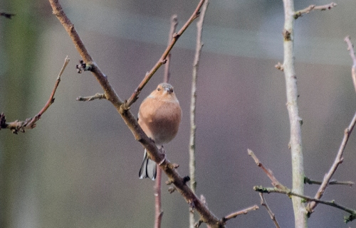 chaffinch in weak sun