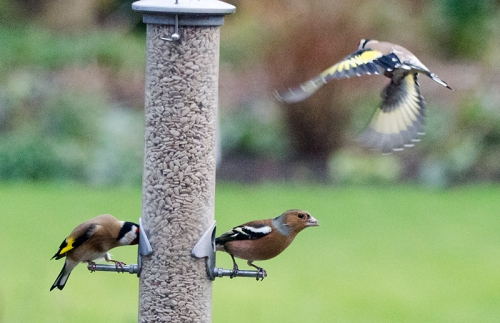 chaffinch on the lookout