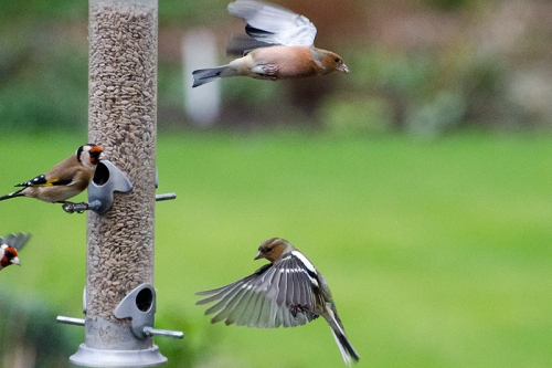 chaffinches coming and going