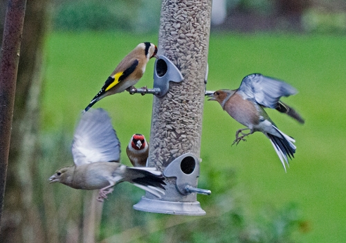 chaffinches to and fro