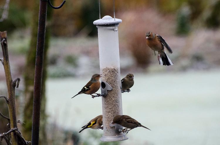 chilly feeder