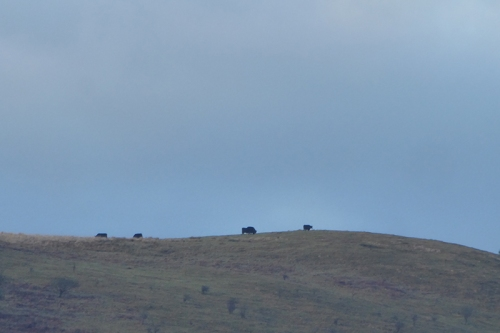 cows on top of Castle Hill