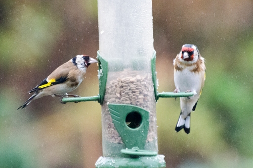 damp goldfinches december