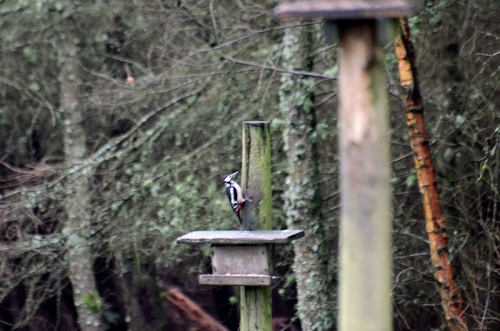 distant woodpecker