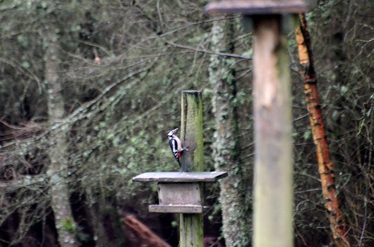 distant woodpecker