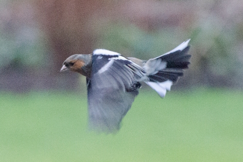 flying chaffinch gloomy