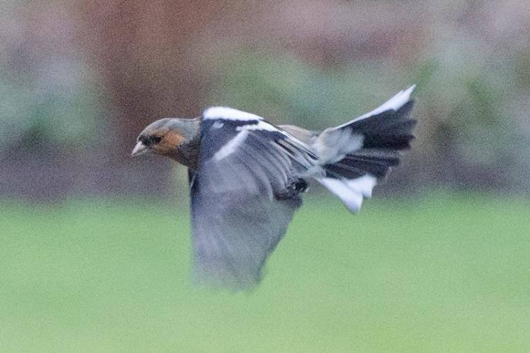 flying chaffinch gloomy