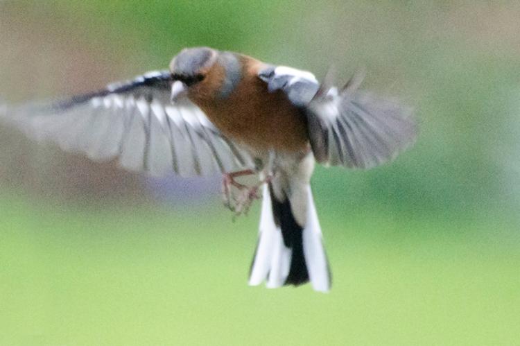 flying chffainch