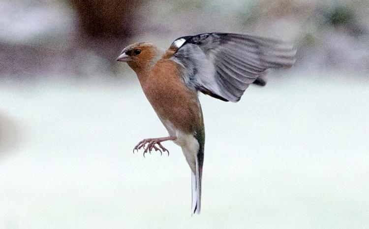 flying chffinch frosty