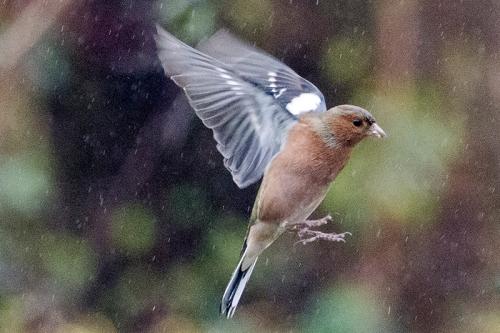 flyingh chaffinch