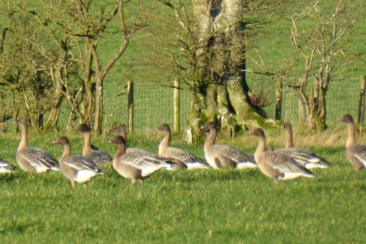 geese in field at Chapelknowe