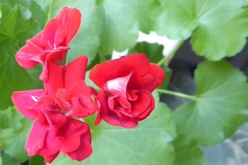 geranium indoor