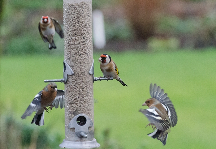 goldfinch and chaffinch reappear