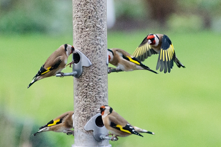 goldfinch creeping up
