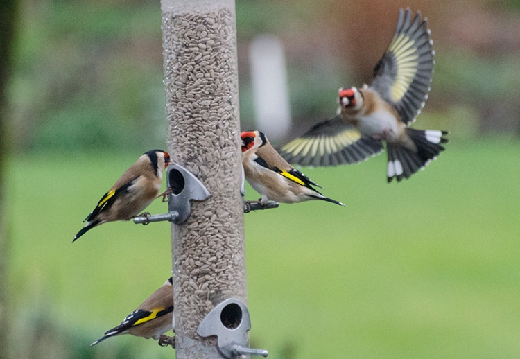 goldfinches come back