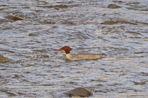goosander swimming in esk