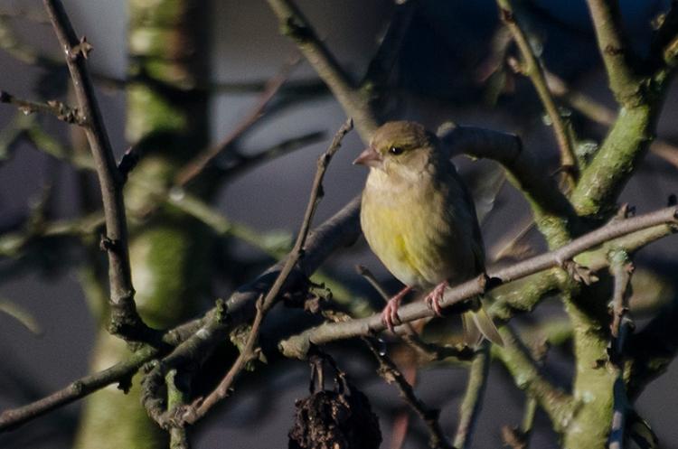 greenfinch in plum tree
