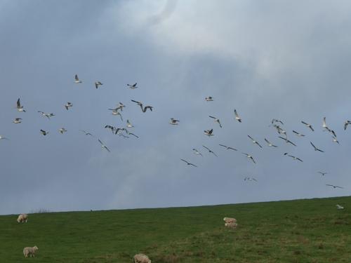gulls in lflight near chapelhill