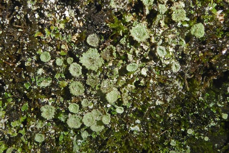 irvine house cup lichen