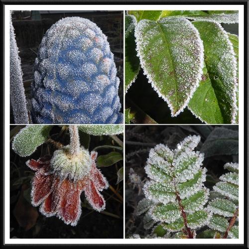 jack frost in garden