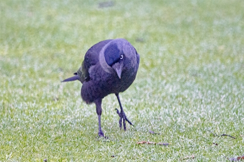 jackdaw left foot up