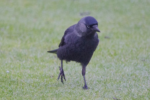 jackdaw right foot up