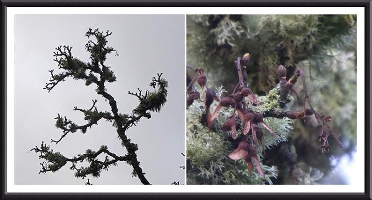 licheny tree