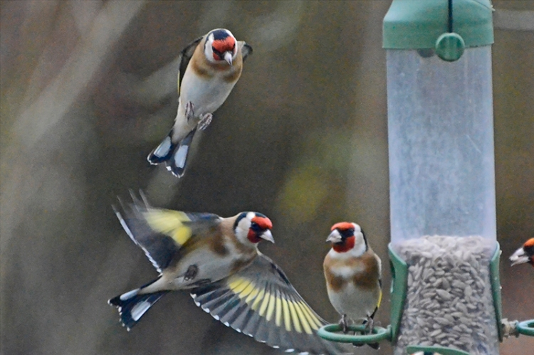 many flying goldfinches