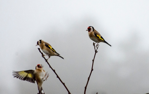 misty godlfinches